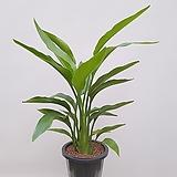 꽃피는 극락조 (3촉) 포트 공기정화식물 사무실화분|