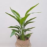 꽃피는 극락조 + 라탄바구니 (세트) 공기정화식물 축하선물 카페인테리어|