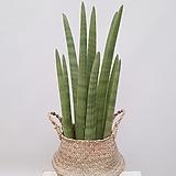 스투키 + 라탄바구니 (세트) 공부방식물 미세먼지제거식물 공기정화식물|Sansevieria Stuckyi