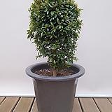 피어리스 대품 大 인테리어식물 화분인테리어 카페식물 축하선물|