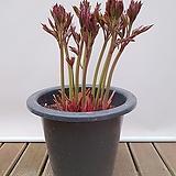 작약 (흰색 겹꽃) 인테리어식물 축하선물 랜덤발송|