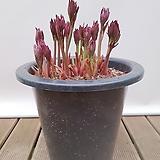 작약 (흰색 겹꽃) 나-51 인테리어식물 축하선물|