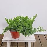 눈향 (포트) 인테리어식물|