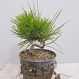해송 4~5 년생 (망포트) 인테리어식물 축하선물|