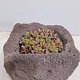 취설송 (화산석) 완성품 인테리어식물 축하선물 카페인테리어 회사식물|Anacampseros rufescens Sunrise