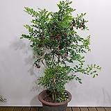 오렌지 자스민 쟈스민 (포트) 인테리어식물 공기정화식물 축하선물|