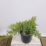 눈향 (향나무) 인테리어식물 월동가능 전원주택식물|