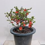 장수매 (포트) 중품 월동가능 인테리어식물|