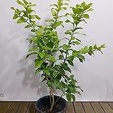 레몬나무 대품 인테리어식물 월동가능 열매식물|
