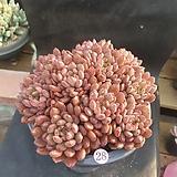 따글핑클루비28|Sedeveria pink rubby