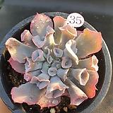 트럼펫핑키35|Echeveria cv Pinky