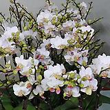 호접란.잔설.(네추럴흰색)(꽃형 미니귀여운형).작은품종.귀한품종.상태굿.신품종.고급종.|