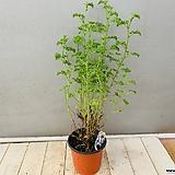 핑거볼제라늄 (레몬향기가 근사한 핑거볼입니다)|Geranium/Pelargonium