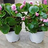 겹 베고니아 꽃 공기정화|Begonia
