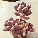 홍미인군생|Pachyphytum ovefeum cv. momobijin