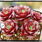 롱기시마 군생(자연,목대짱) Echeveria longissima