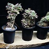 다육식물 썬버스트 철화|Aeonium Sunburst