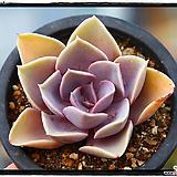 라일락 Echeveria cv Peale von Nurnberg