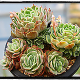 온슬로우금 대품군생(자구많아요) Echeveria cv  Onslow