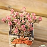 희성금 0418-38|Crassula Rupestris variegata