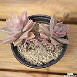 분홍용월 0418-43|Graptopetalum Purple Haze