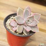 분홍용월 0418-44|Graptopetalum Purple Haze