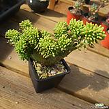 팔천대철화 0418-68|Sedum corynephyllum