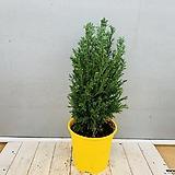가문비나무 (동일품배송)|