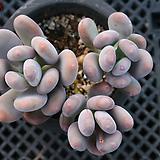 홍미인 묵은둥이 자연군생 4379|Pachyphytum ovefeum cv. momobijin