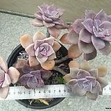 퍼플딜라이트1|Graptopetalum Purple Delight