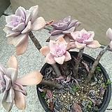 퍼플딜라이트2|Graptopetalum Purple Delight