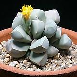Lapidaria margaretae 씨앗(10립)|