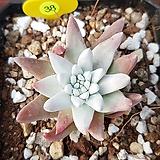 화이트그리니 0438|Dudleya White gnoma(White greenii / White sprite)