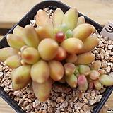천대전송36|Pachyphytum compactum