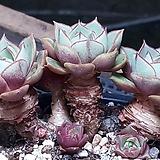 환엽롱기시마목대군생|Echeveria longissima