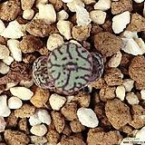 위트버젠스 3두군생(고급종 ,탈피후라 작음)|Conophytum Wittebergense
