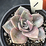 연봉1|GraptoveriaBAINESII