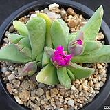 체리톱스 0419|Cheiridopsis Pillansii