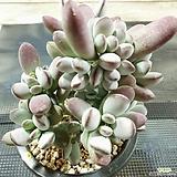 방울복랑 군생|Cotyledon orbiculata cv
