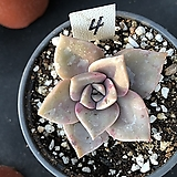 연봉4|GraptoveriaBAINESII
