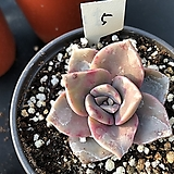 연봉5|GraptoveriaBAINESII