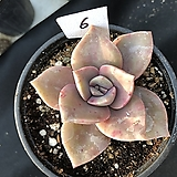 연봉6|GraptoveriaBAINESII