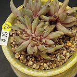 웅구아쿨라타철화(4.19)|Echeveria unguiculata