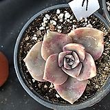 연봉7|GraptoveriaBAINESII