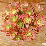 묵은 까라솔|Aeonium decorum f variegata