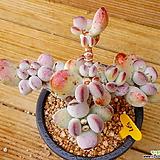 목대 방울복랑|Cotyledon orbiculata cv