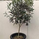 올리브나무(토피어리, 동일품 발송)|