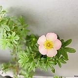 분홍물싸리|