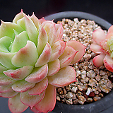 라임앤칠리 4-772|Echeveria Lime & Chile Chile