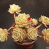 온슬로우 10두|Echeveria cv  Onslow
